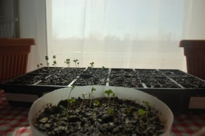 Radish seedlings!